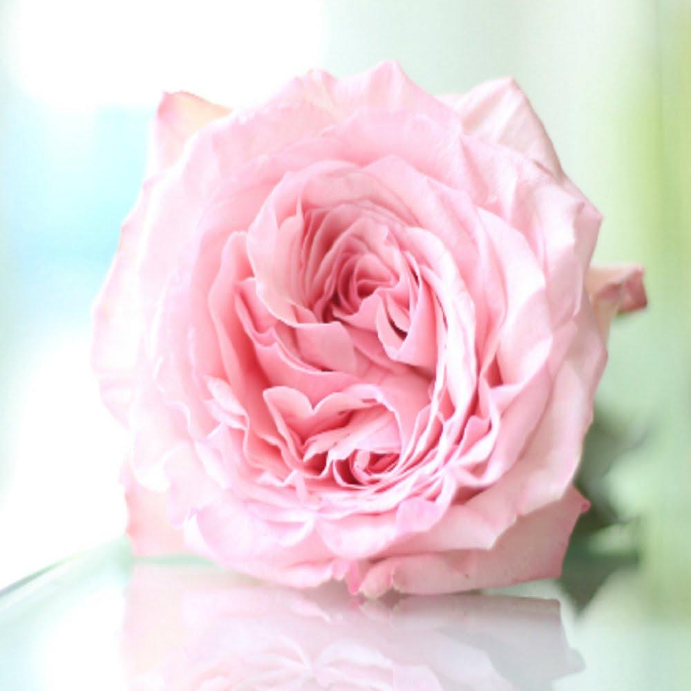 hoa hồng ohara